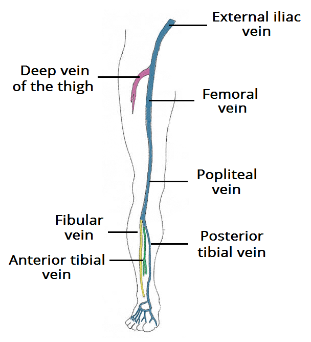 Overview-of-the-Deep-Veins-of-the-Lower-Limb